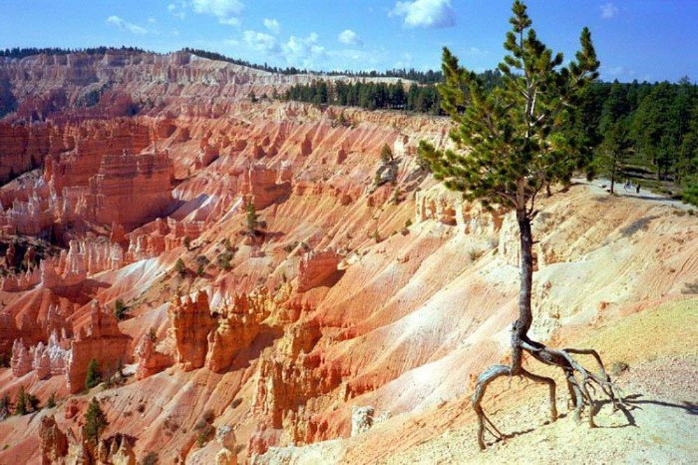 L'arbre de Bryce Canyon